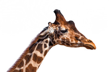 Close up of a giraffe's head isolated on white background
