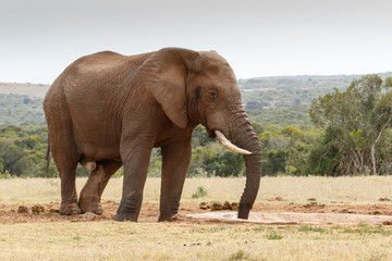 Bush elephant sucking up the last bit of water