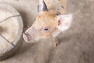 young piglet a pig breeding farm