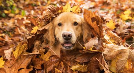 Golden Retriever pies w stosie spadek opuszcza