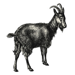 vintage animal engraving / drawing: goat - retro vector design element