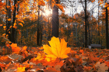 Intense warm sunrays illuminate the dry, gold maple leaves covering the forest ground on blurred background.