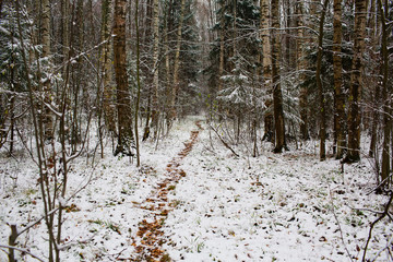 Footpath in pine winter forest