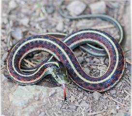 Coast Gartersnake - Thamnophis elegans terrestris, in typical defense posture. Mt. Tamalpais, Marin County, California, USA.