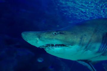 Shark in oceanarium. Agressive look.
