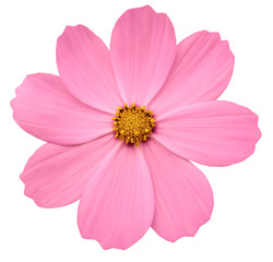 bright pink flower Primula.  white isolated background with clipping path. Closeup.  no shadows. yellow center. Nature.