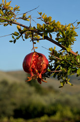 Pomegranate fruit on a branch