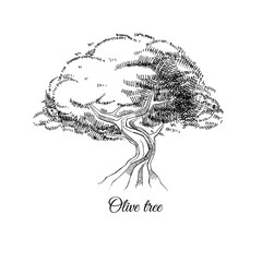 old olive tree, hand drawn vector ink sketch