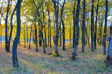 Oak forest on autumn