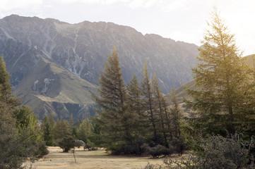 Pine trees at campsite in Glentanner Park Centre, Aoraki / Mount Cook National Park, Canterbury, New Zealand