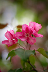 Pink apple blossoms after a spring rain.