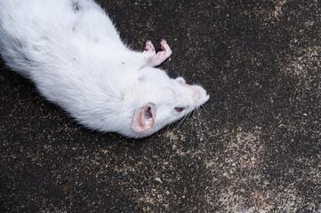 Dead white rats on floor,The dead rat on a street