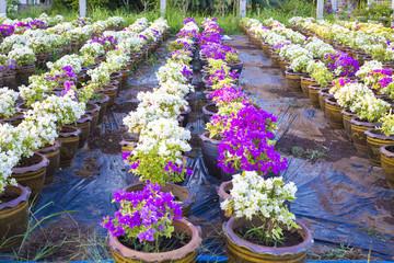 Flower beautiful,  background flower, sun flower, flower of thailand, Flower Doitung, flower on garden, flower closeup.