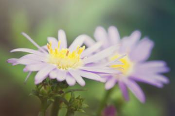 Beautiful gerbera daisy flower in the garden, gerbera is the bea