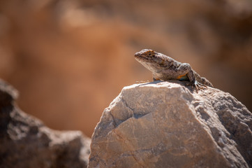 Desert Lizard Sunning Itself On A Rock