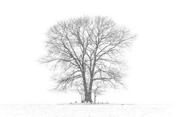 Large, Majestic Tree in Snow Storm