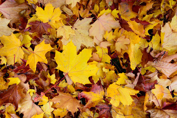 Texture of colorful fallen maple leaves