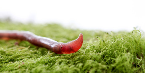 Earth worm on a moss background