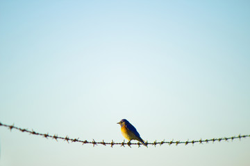 Robin perching on barb wire against clear sky