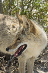 Coyote, Canis latrans, in Death Valley National Park.
