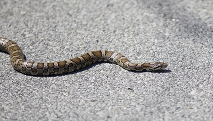 Beautiful isolated photo of a dangerous snake on a road