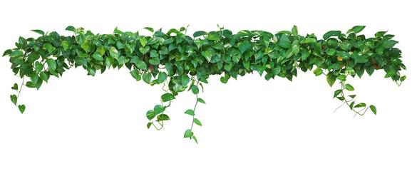Wall Mural - Heart shaped leaves vine, devil's ivy, golden pothos, isolated o