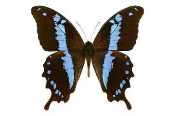 Black blue swallowtail butterfly from Madagascar (Papilio oribazus, male) isolated on white background