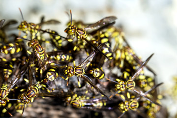 Adult yellow wasps