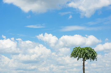 Papaya tree on blue sky and cloud background with copy space