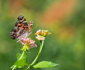 The American Painted Lady butterfly on Lantana