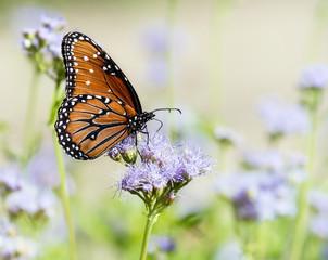 Queen butterfly (Danaus gilippus) on Greggs Mistflowers