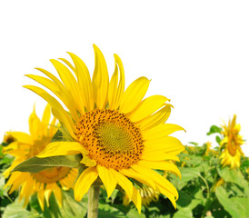 Sunflower field on white background