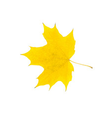 Yellow autumn leaves isolated