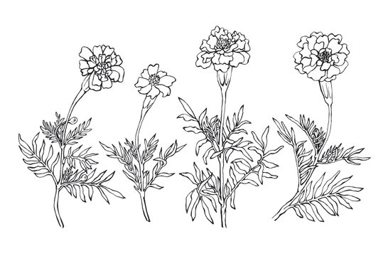 Tagetes patula, the French marigold. Garden flowering plant. Hand drawn black and white illustration on white backgroundŒ.