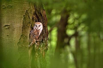 Barn owl (Tyto alba) in the tree cavity