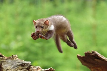 Jumping Stone Marten on the stump in czech forest Wall mural
