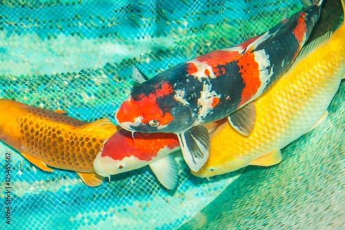 Beautiful koi fish swimming in the pond stock photo and for Pool koi aquatics ltd