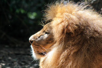 Side portrait of a big male African Lion (Panthera leo).