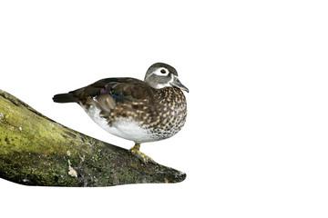Fotoväggar - Wood duck or Carolina duck, Aix sponsa