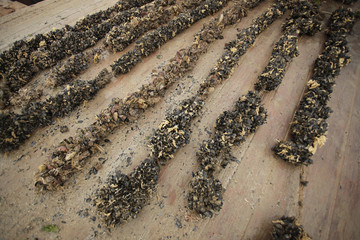 Obraz omułki - hodowla - małże na brzegu - fototapety do salonu