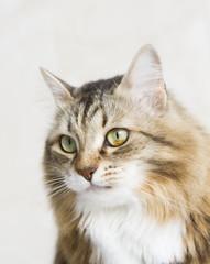 female cat of siberian breed brown white