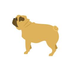 Dog flat pug