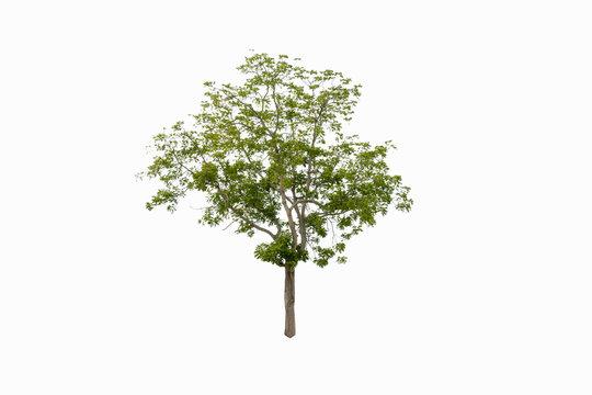 Tree alone or single on white background