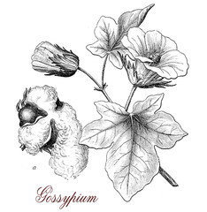 Cotton plant or gossypium, botanical vintage engraving,  leaves,flowers and seeds in a capsule surrounded by staples used for weaving.