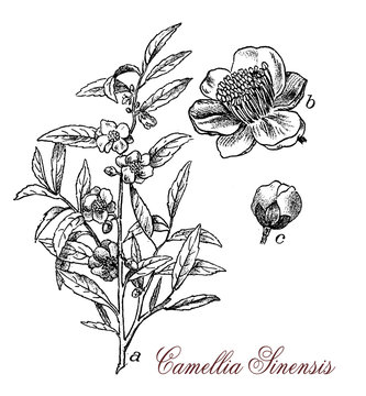 Camellia sinensis or Camellia is a  flowering plant, the leaves are used to produce tea. The plant originates from Asia and is cultivated in tropical and subtropical areas.
