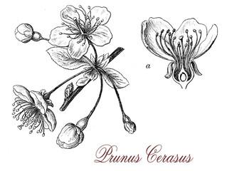 Sour cherry (prunus cerasus) flowers, botanical vintage engravin