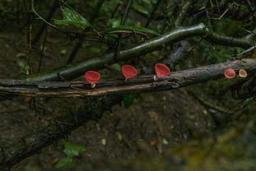 Mushroom Champagne on Wooden in rainforests(low key)