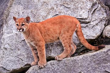 Young Mountain Lion Cougar Puma Concolor