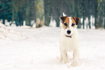 Jack Russell Terrier frolic in the snow-covered park