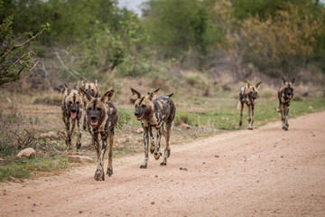 Pack of African wild dogs walking towards the camera.